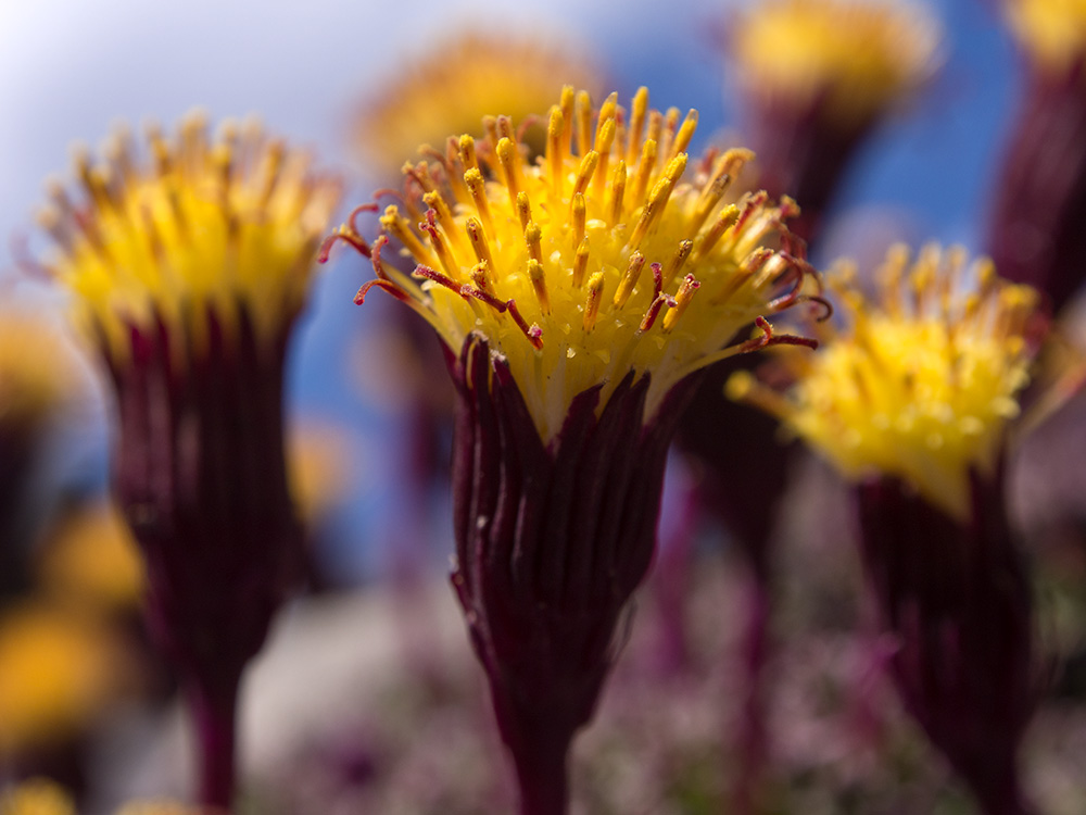 Chachacoma o Senecio - Flowers of the Andes Mountains