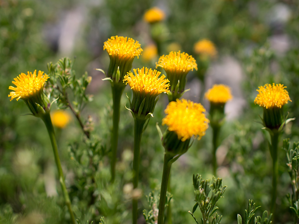 Senecio - Flowers from the Andes Mountains