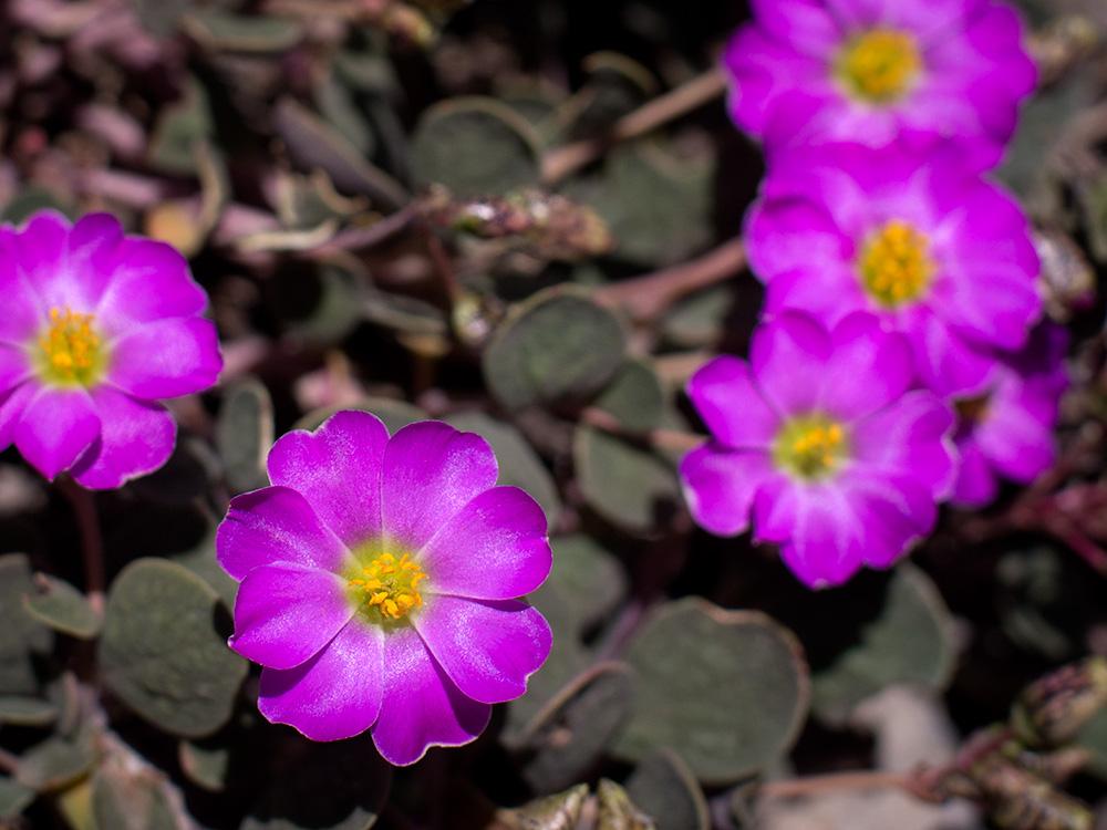 Lengüilla - Chilean wild flowers