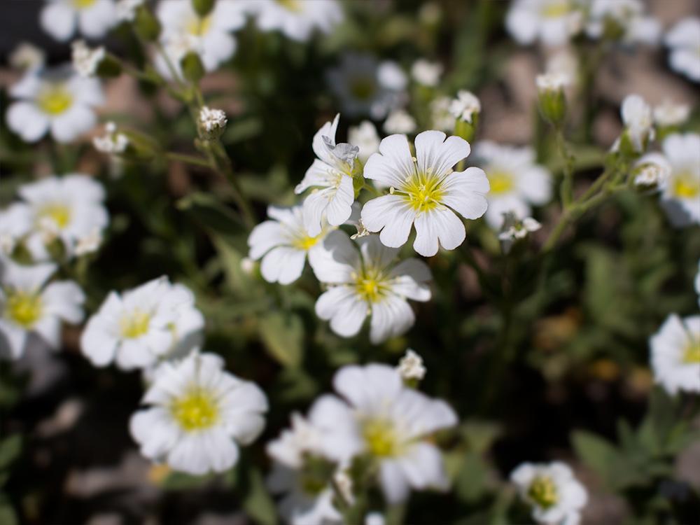 Cerastium - Chile flowers