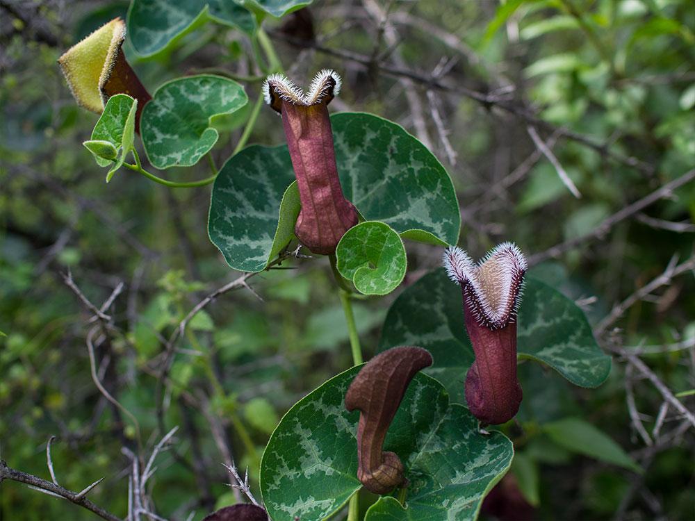 Orejas de zorro - Aristolochia chilensis