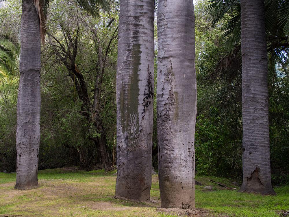 Chilean Palm