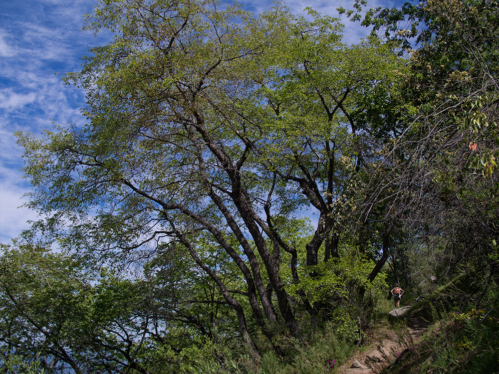 A wonderful south facing oak tree accompanies Trinidad in her path towards the Olmué commune.