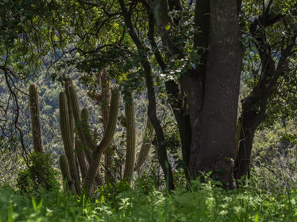 Quisco Cactus - Hiking La Campana