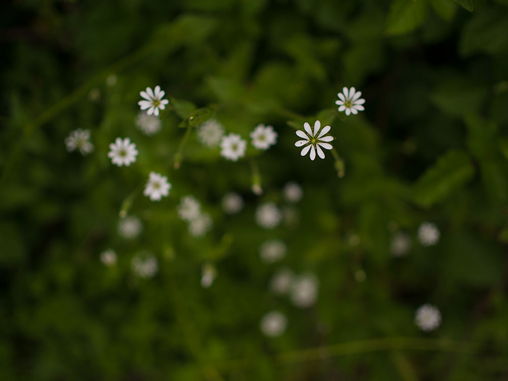 Stellaria chilensis - Flowers from Central Chile