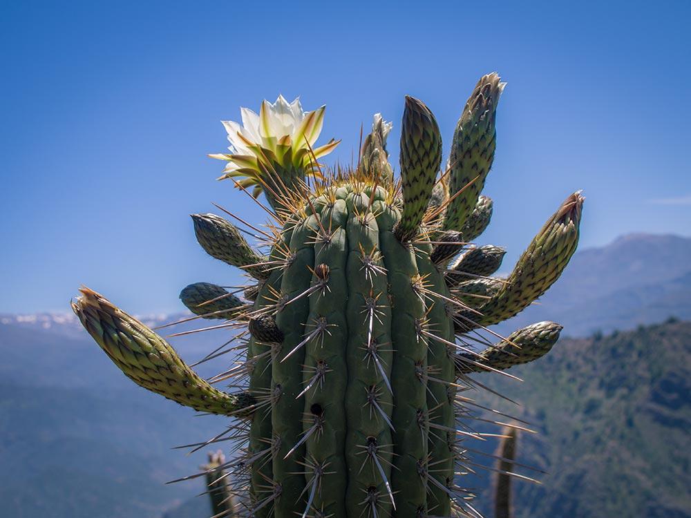Quisco cactus, Echinopsis chiloensis