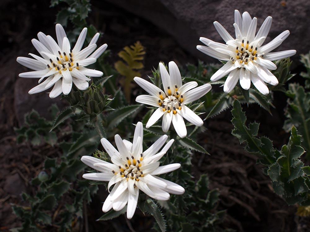 White star form the mountains - Perezia carthamoides