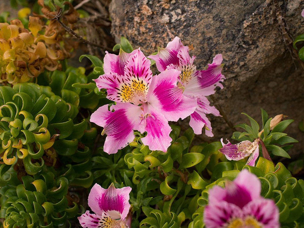 Butterfly of Los Molles (Alstroemeria pelegrina) - Flowers from Central Chile