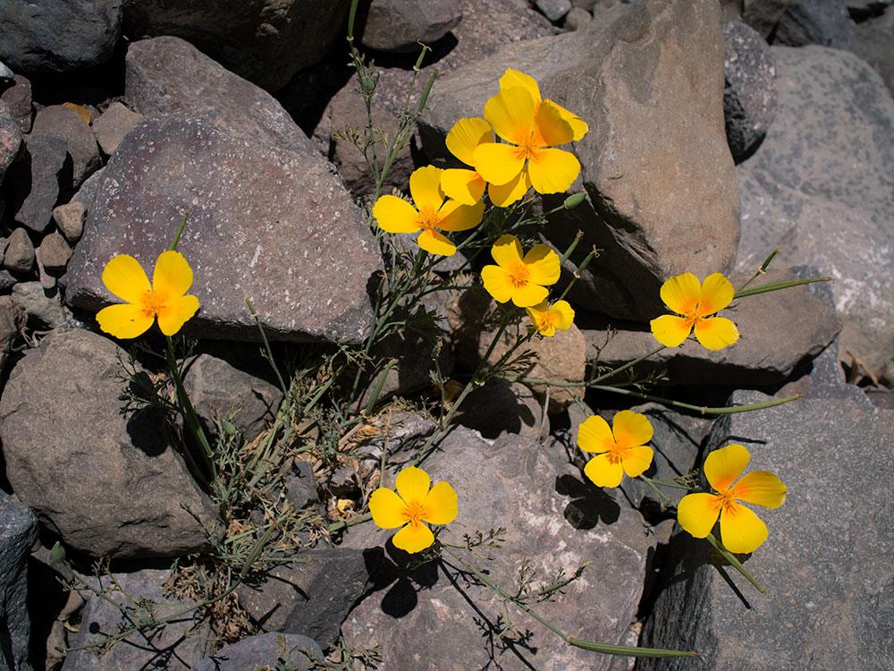 Californian poppy - Eschscholzia californica in Chile