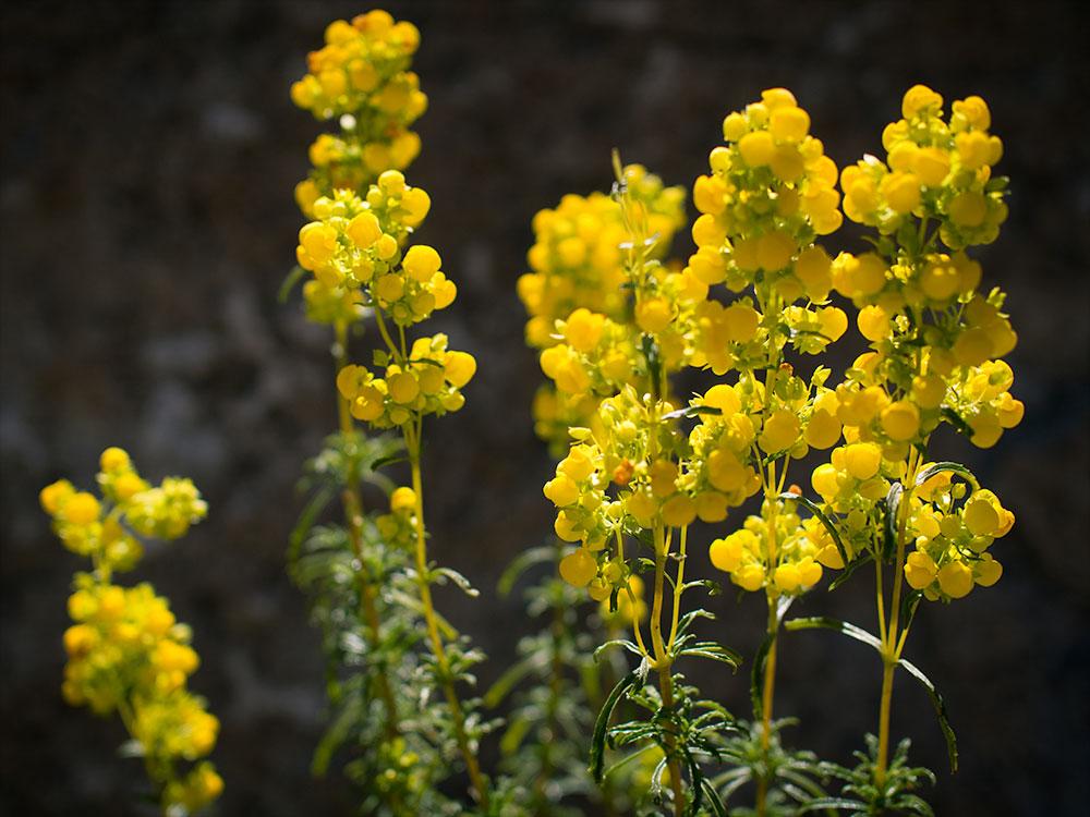Hierba dulce - Calceolaria thyrsiflora