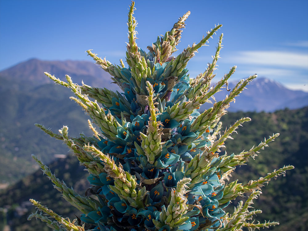 The flowers of the Puya berteroniana are expected to last for around two weeks but it will sadly be the first and last time the 6ft tall plant blooms as they die shortly after the flowers fade.