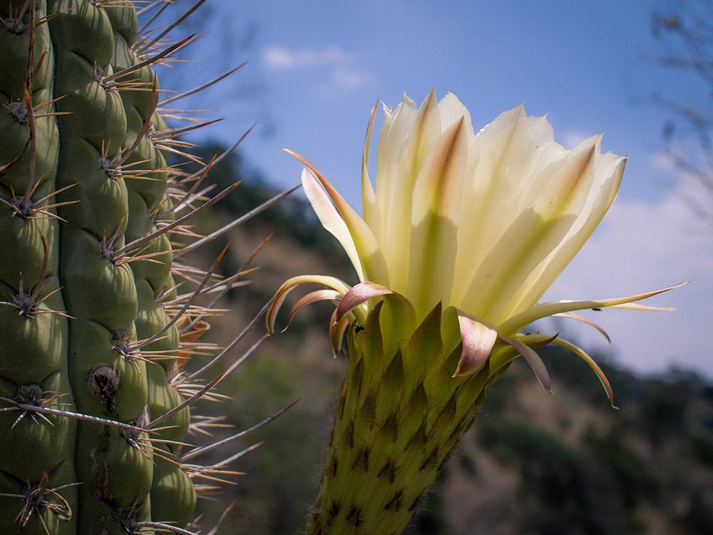 Quisco - Echinopsis chiloensis