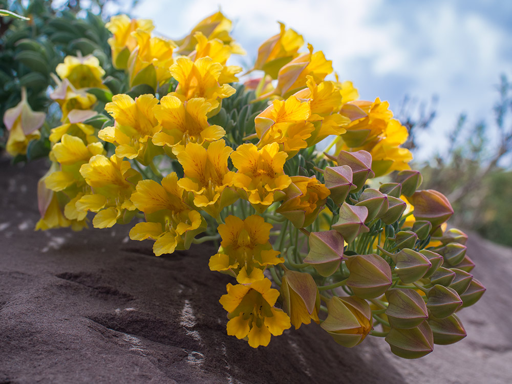 Great Soldier of the Mountains - Tropaeolum polyphyllum