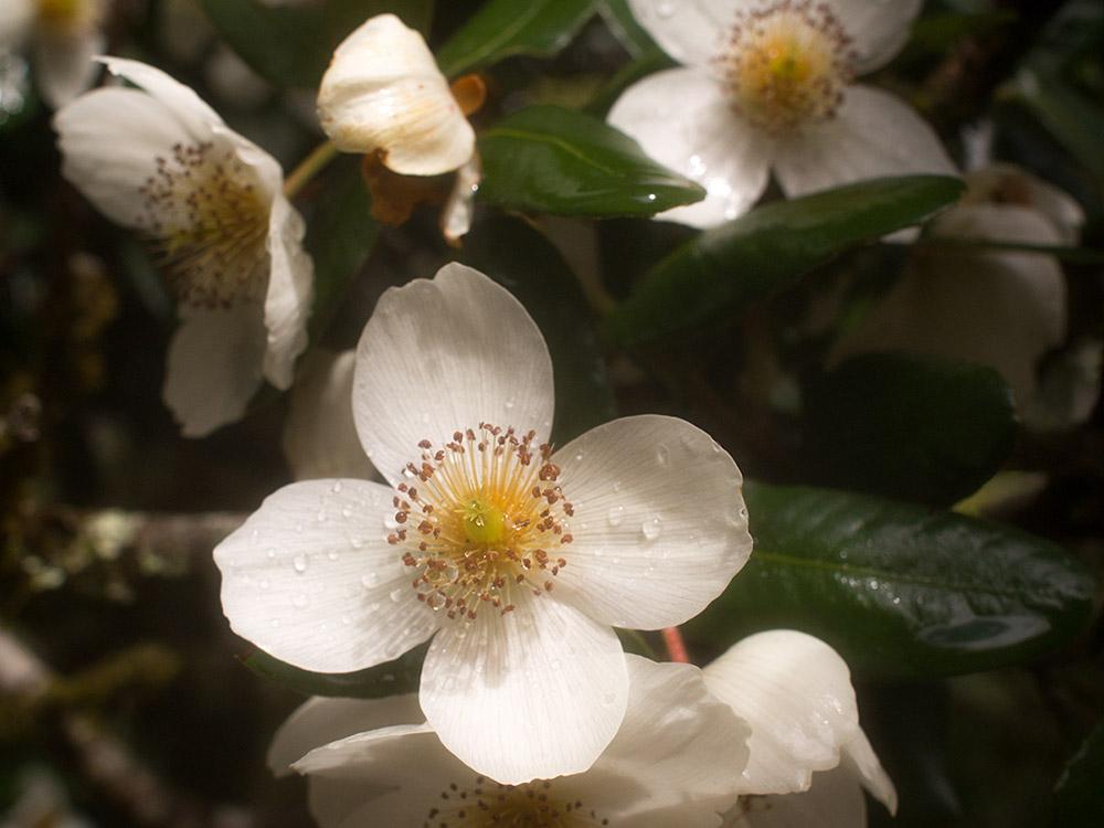 Ulmo - Eucryphia cordifolia