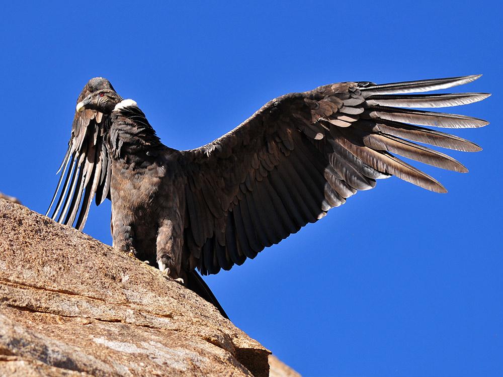 Andean condor, Vulture Gryphus - Photo by Martín Espinosa Molina