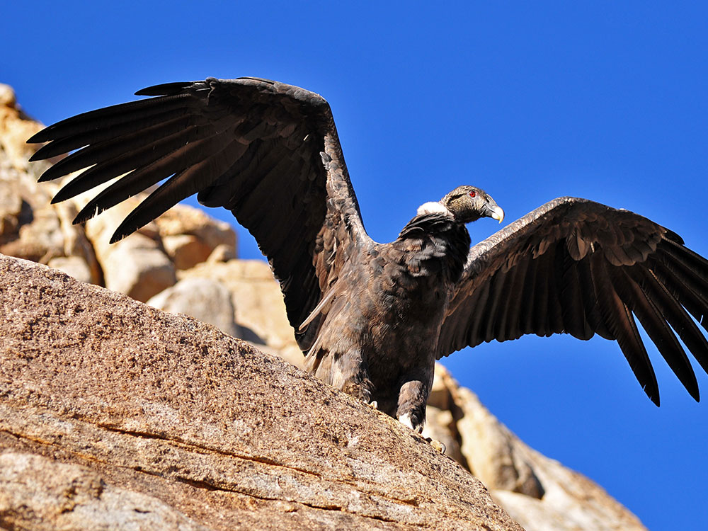 Condor - Photo by Martín Espinosa Molina