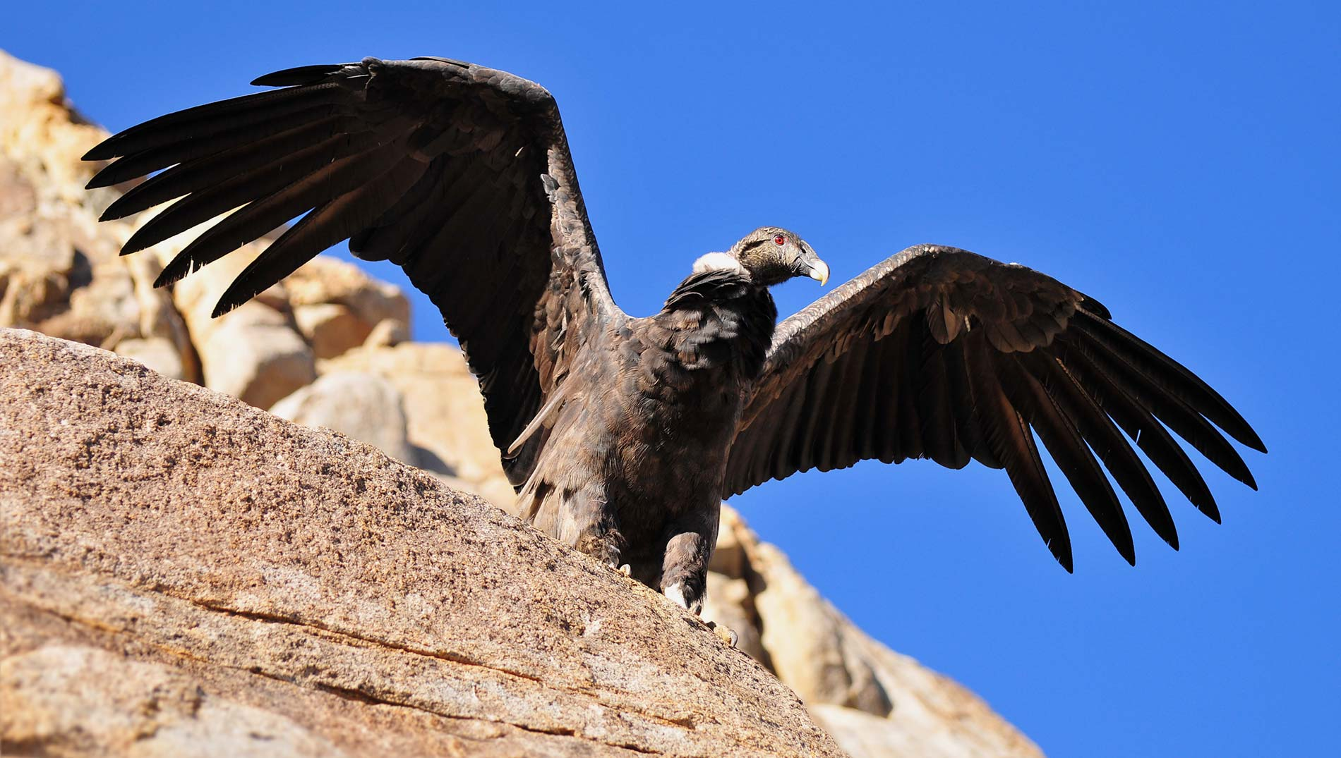 The condor of Las Arenas Valley