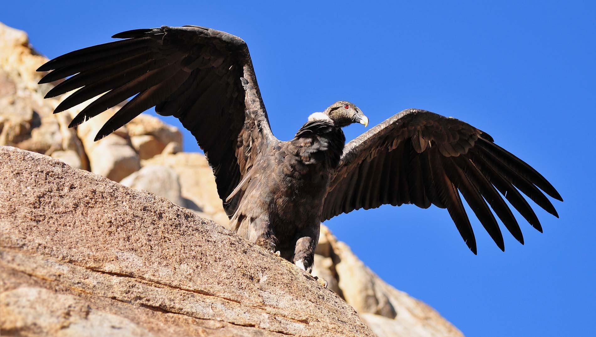 The condor of Las Arenas Valley