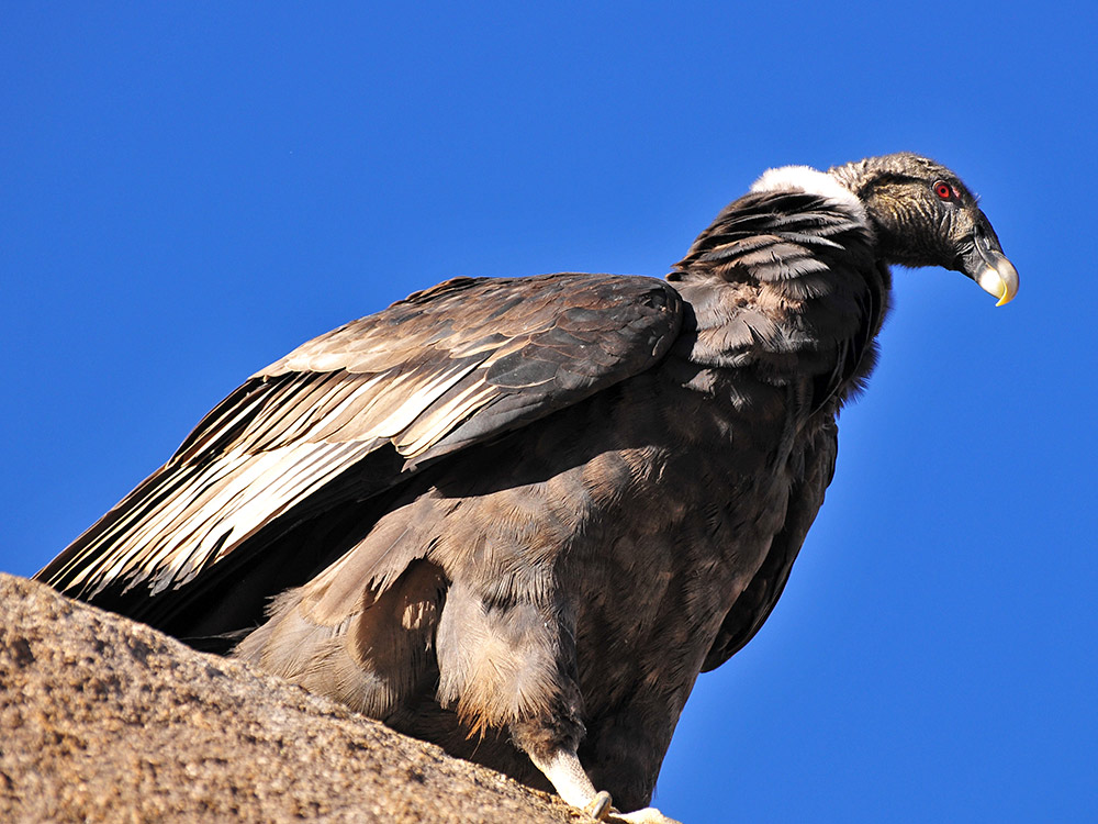 Condor or Vultur Gryphus - Photo by Martín Espinosa Molina