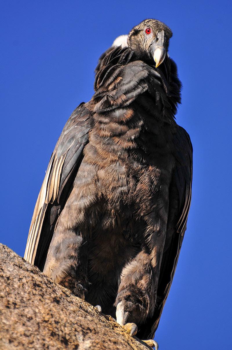 The Condor - Photo by Martín Espinosa Molina