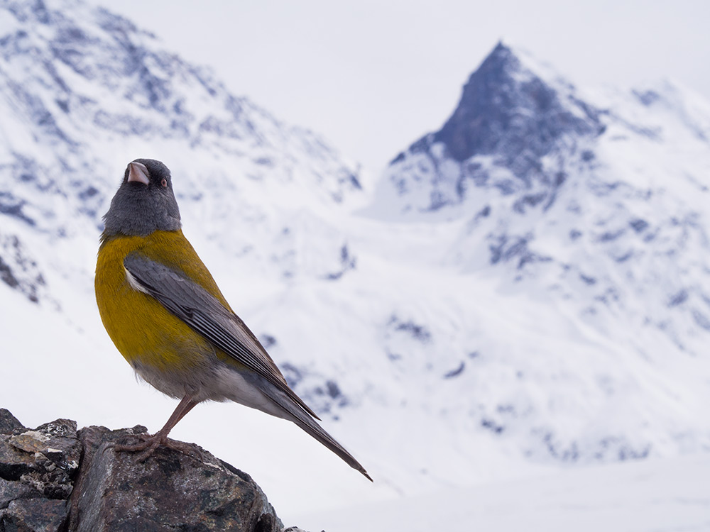 Sierra finch of around 15cm (6in) posing in front of Mount El Morado. They can commonly be seen in the mountains (Phrygilus gayi)