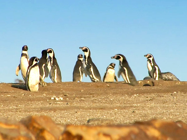 The Humboldt penguin is currently classified as Vulnerable in their condition.