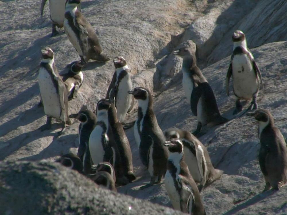 Humboldt penguin colony