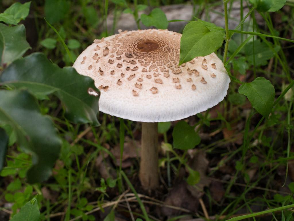 fungi-la-campana-30